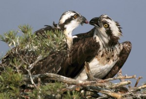 An osprey feeds its chick on a nest in a marsh near the remote village of Rasolai