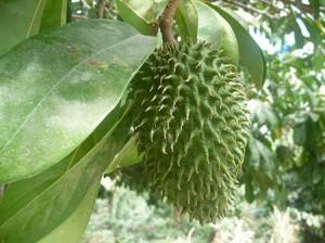 graviola-bio-corossol-antioxydant-naturel-superfruit-puissant-anti-cancer-jus-proprietes-vertus-14