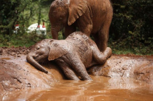 686553-an-orphaned-baby-elephant-basks-in-a-mud-puddle-at-the-david-sheldrick-elephant-orphanage-within-the